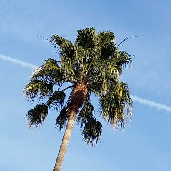 Straight-up photo of a palm tree